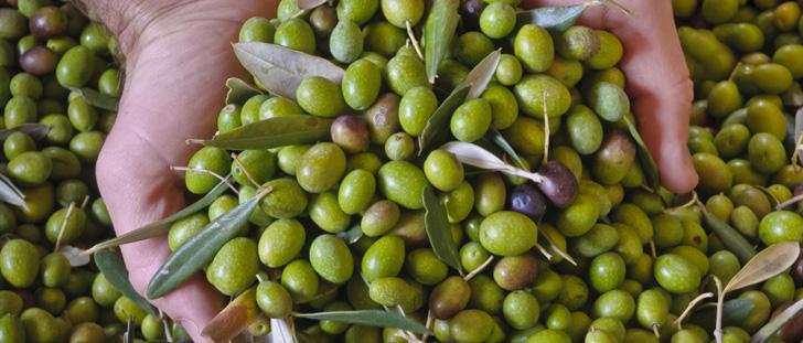 raccogli olive