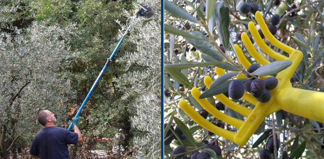 raccolta olive pettinatura