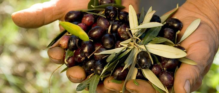 raccolta olive allia vincenzo